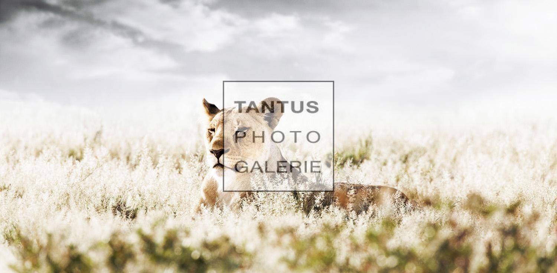 Panthera_-_Tranquility