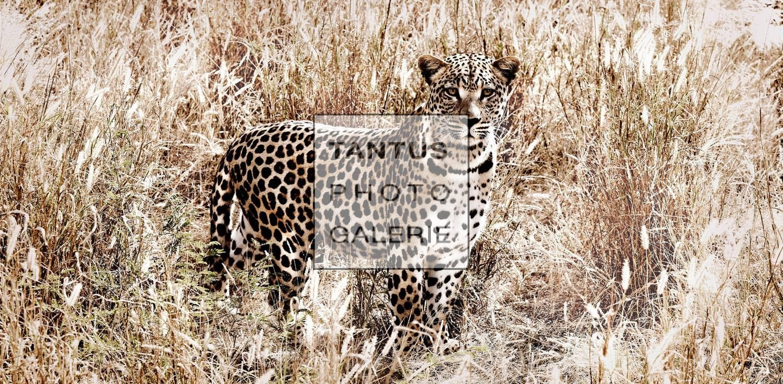 Panthera_Pardus_-_Dignity